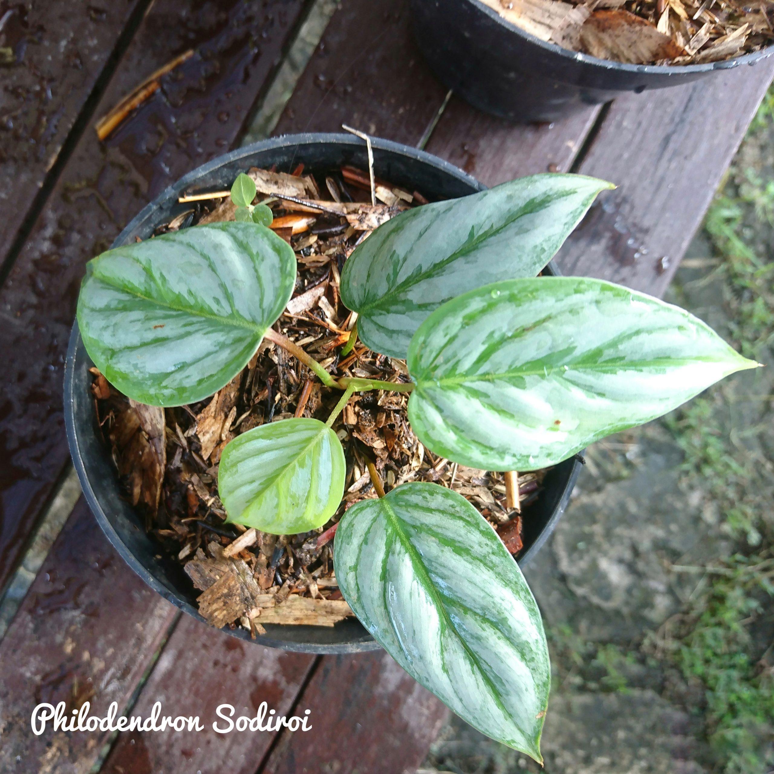 Philodendron Sodiroi